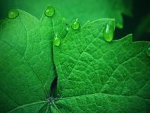 Grape leaf with dew drops.Vine leaf, water drop.   Beautiful drops of rain water. On a green leaf. Drops of dew in the morning glow in the sun Royalty Free Stock Photos