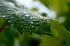 Grape leaf with drops of rain Stock Photos