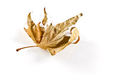 Grape leaf dry Royalty Free Stock Photo