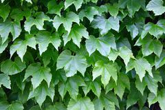 Grape leaf fence. Grape leaves covering fence in Spain royalty free stock images