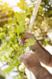 Grape leaf holding Stock Photography