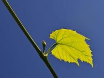 Grape leaf isolated on blue sky background Royalty Free Stock Image