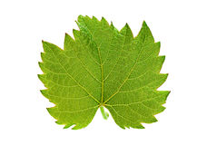 Grape leaf isolated Royalty Free Stock Image