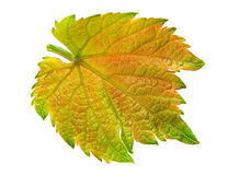 Grape leaf isolated Royalty Free Stock Photos
