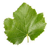 Grape leaf isolated on the white background Stock Photos