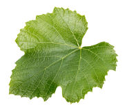 Grape leaf isolated on the white background Stock Photography