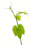 Grape leaf Royalty Free Stock Photos