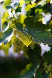 Grape leaf penetrated by sun rays stock photography