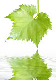 Grape leaf with raindrops Stock Photography