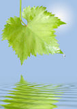 Grape leaf with raindrops Royalty Free Stock Photos