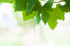 Grape  leaf in soft light Royalty Free Stock Photos