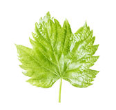 Grape leaf Stock Photo