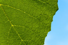 Grape leaf textured part back Stock Photos