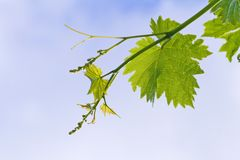 Grape Leaf on the Vine Stock Photo