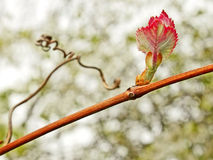 Grape leaf on the vine in springtime Royalty Free Stock Image