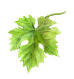 Grape leaf of vine. Watercolor Royalty Free Stock Photo