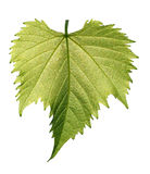 Grape leaf on white background Stock Photos