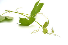 Grape leafes. In front of white background Stock Photo