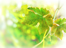 Grape leafs Royalty Free Stock Image