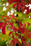 Grape leafs. Grape red green leafs color stock photos