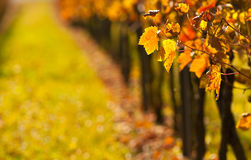 Grape leafs in fall Stock Photos