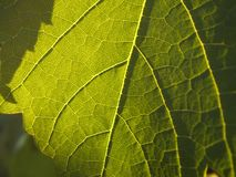 Grape leave Royalty Free Stock Images