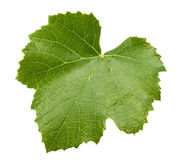 Grape leave isolated on the white background Stock Photography