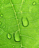 Grape leaves Royalty Free Stock Image