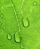Grape leaves. Dew drops on grape sheet Royalty Free Stock Image