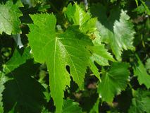 Grape leaves Stock Image