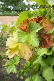 Grape leaves. Grape three colour leaves outdoor Stock Photos