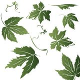 Grape leaves Stock Photos