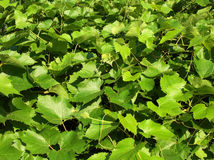 Grape leaves. Carpet of grape leaves Royalty Free Stock Photo
