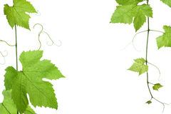 Grape-leaves. Border of grape or vine leaves isolated on white background with copy-space.Please take a look at my other images of grape-leaves Royalty Free Stock Images