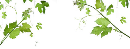 Grape-leaves. Backdrop of grape or vine leaves isolated on white background.Please take a look at my other images of grape-leaves Royalty Free Stock Image