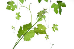 Grape-leaves Royalty Free Stock Image