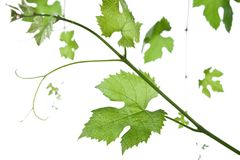 Grape-leaves. Backdrop of grape or vine leaves isolated on white background.Please take a look at my other images of grape-leaves Stock Images