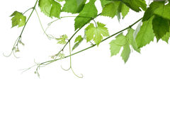 Grape-leaves. Backdrop of grape or vine leaves isolated on white background.Please take a look at my other images of grape-leaves Royalty Free Stock Photos