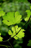 Grape leaves Stock Photo