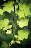 Grape leaves Stock Images