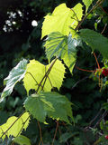 Grape leaves. Backlit wild Grape vine stock photography