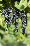 Grape and leaves Royalty Free Stock Photography
