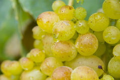 Grape and leaves Stock Images