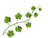Grape leaves Stock Image