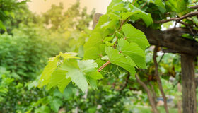 Free Grape Leaves Stock Photos - 98221873