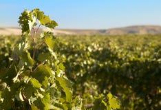 Grape leaves against vineyard Royalty Free Stock Image