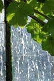 Grape leaves along old greenhouse gable Stock Image
