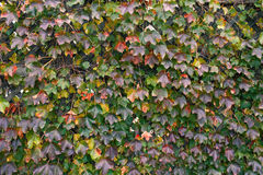 Grape leaves in autumn Stock Photography