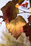 Grape leaves. Autumn Grape leaves close up royalty free stock photography