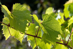 Grape leaves in the back lit.  Royalty Free Stock Image